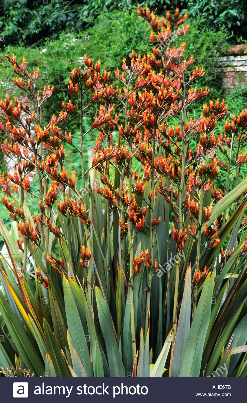 Phormium Tenax In Flower In Garden Border New Zealand Flax Stock Photo Royalty Free Image 8255242 Alamy Plants Garden Border Plants Border Plants