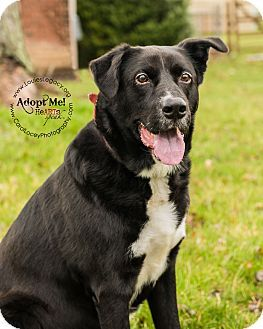 Labrador Retriever Border Collie Mix Dog For Adoption In