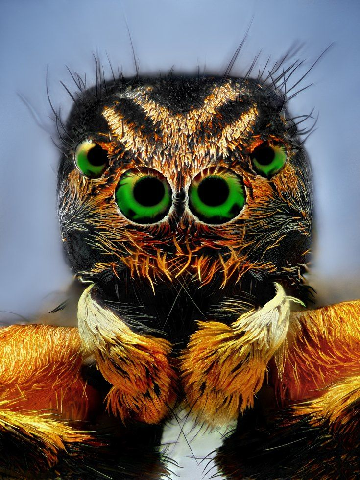 Mummy (Aelurillus v-insignitus dead jumping spider)