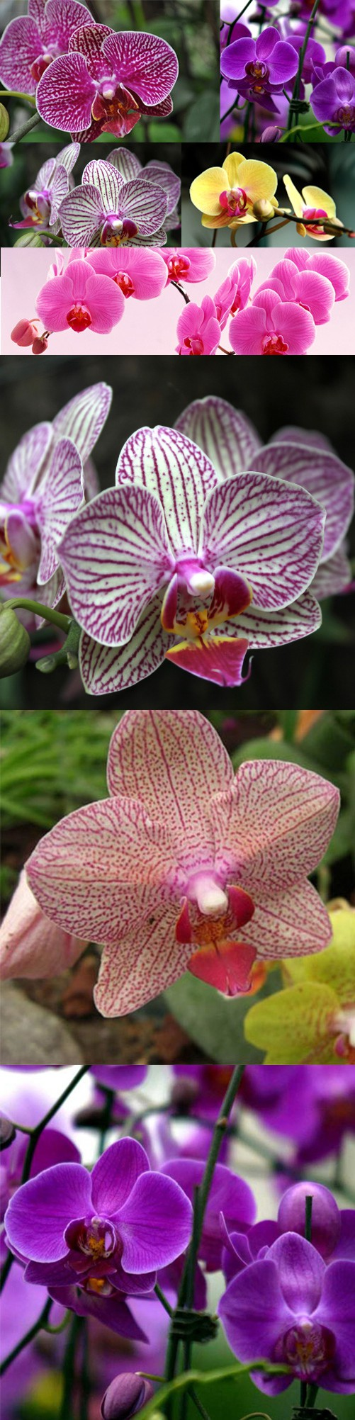 New rare pcs mix color phalaenopsis flower seeds bonsai butterfly