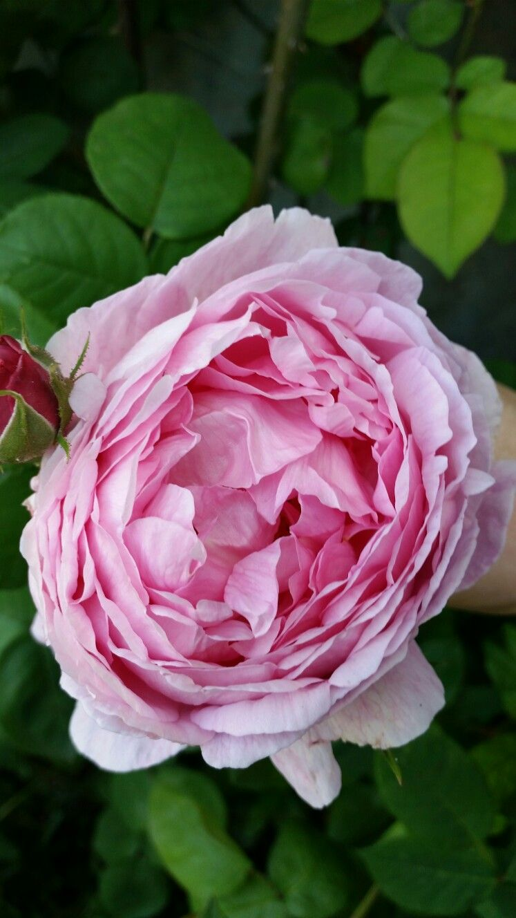 "Rosa ""Constance spry """