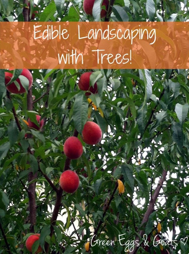 edible landscaping with trees gardening pinterest garden