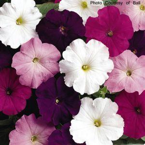 Common Name Petunia Madness Waterfall Mix Petunias Petunia Plant Flowers