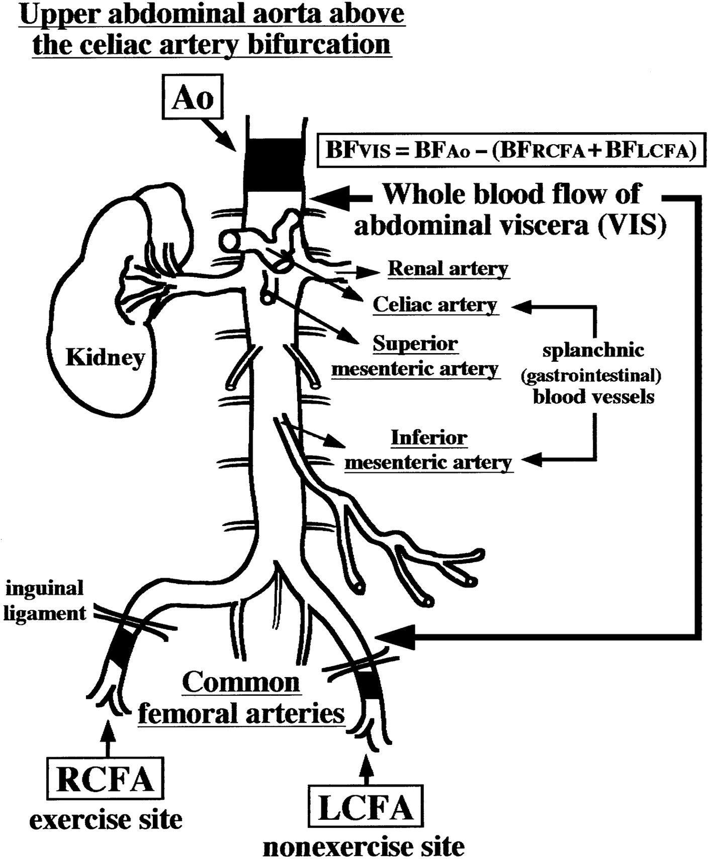 Blood Flow Ultrasound Reduced Blood Flow In Abdominal Viscera