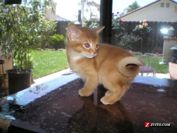 African+Jungle+Animals | ... African Jungle Cat) kittens for sale - San Marcos - Animals - African