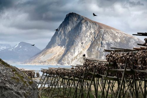 The Smell by Daniel_Bosma landscape travel europe ocean fish food norway mountain smell fjord lofoten codfish fishing industry