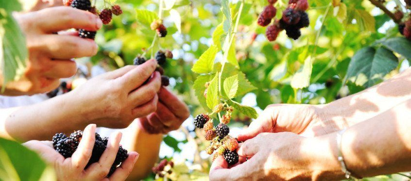 Fruit picking season new zealand fruit picking fruit