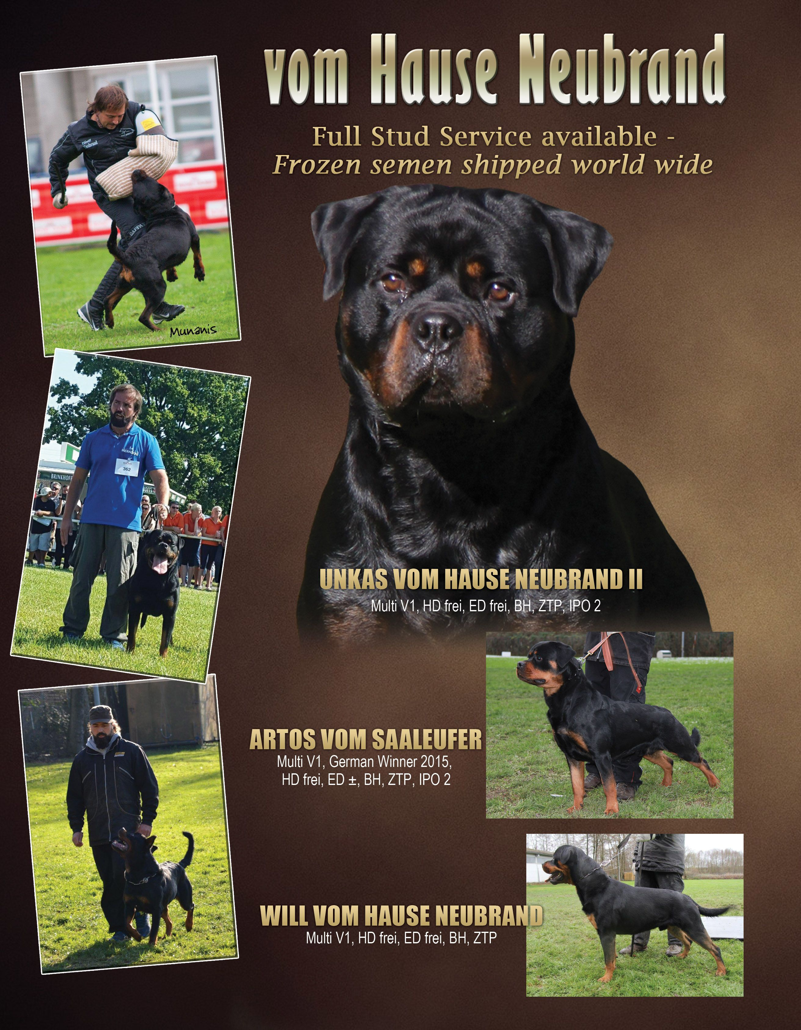 Akc Rottweiler Puppies Sired By Multi V Rated Tingo Flash Rouse