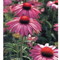Coneflowers Form Low Growing Clumps Of Leaves From Which The Sturdy Flower Stems Launch Upwards Wi Flowers Perennials Biennial Plants Deer Resistant Perennials