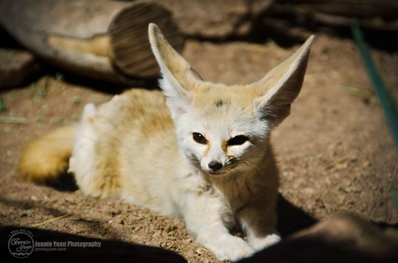 Photo of the Day: A Fennec Fox