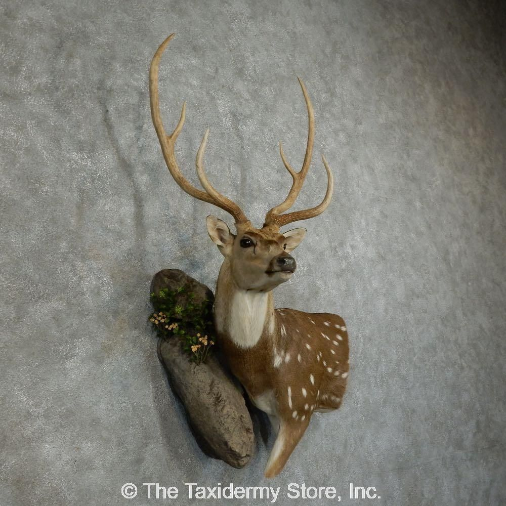 16043 P Axis Deer Wall Pedestal Taxidermy Mount For Sale Ebay Animal Taxidermy Taxidermy For Sale Taxidermy