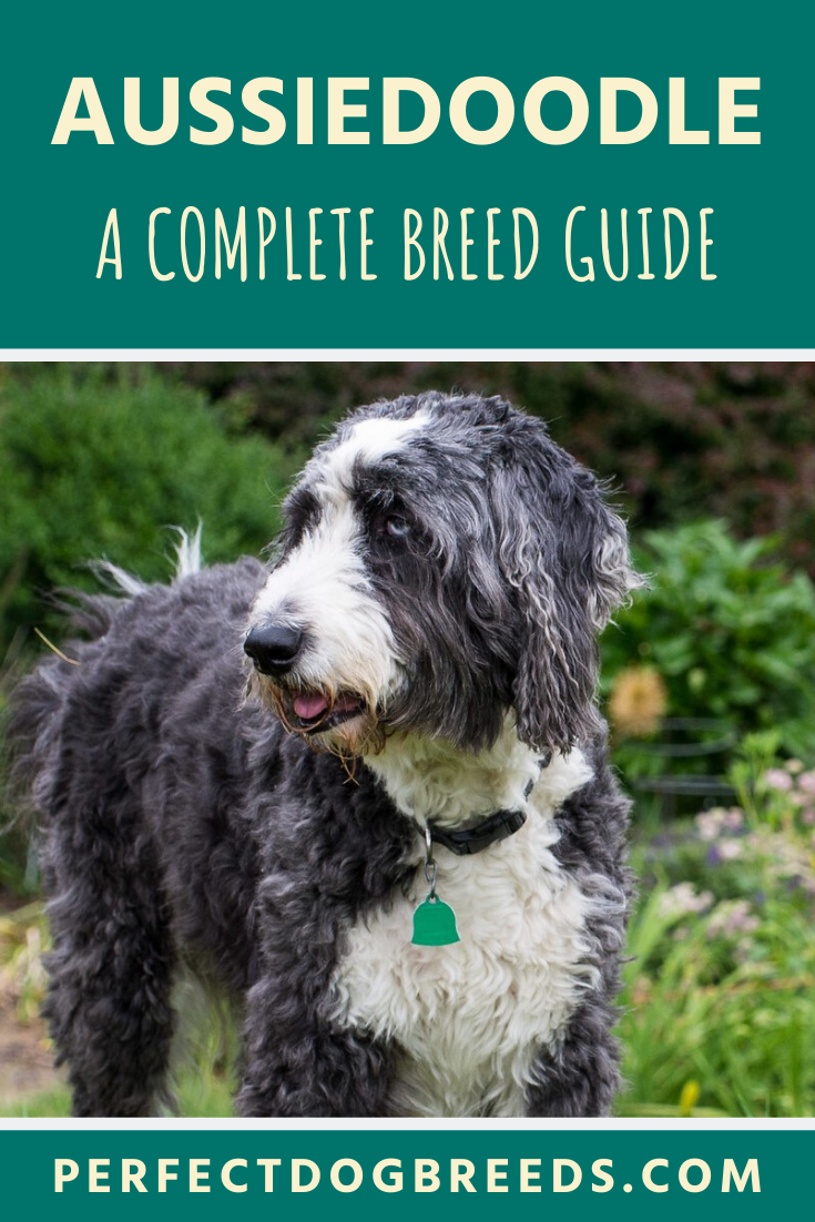 The Aussiedoodle Breed Is A Cross Breed Between The Australian Shepherd And A Poodle Either Miniature Or Standard They Are In 2020 With Images Aussiedoodle