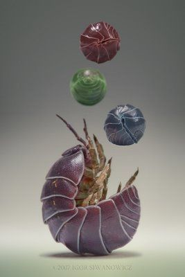 Igor Siwanowicz Rolly Pollies (the study of which is rolypolyology rw) or pill bugs