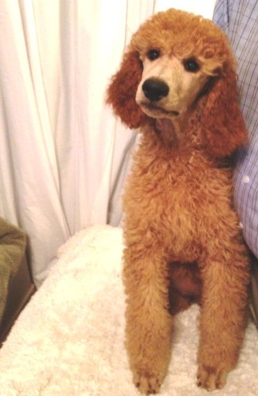 Red Standard Poodle Puppies For Sale In Oklahoma Texas Black