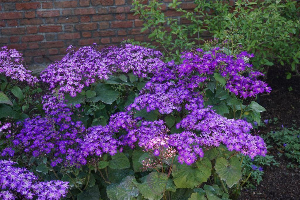 Senecio Stellata Plants Garden