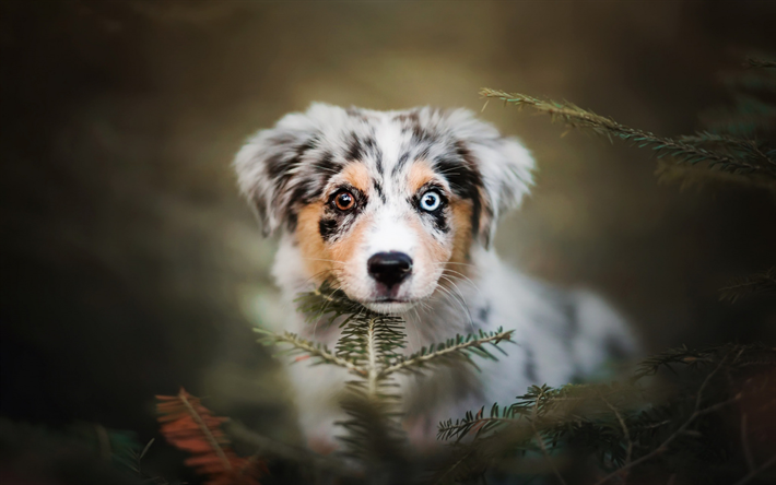 Download Wallpapers Australian Shepherd Small Puppy Heterochromia Aussie Cute Animals Eyes Of Different Colors Ad Puppies Aussie Dogs Australian Shepherd