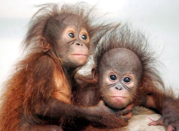 Memes De Monos Los Mas Chistososdivertidospara Compartir Con