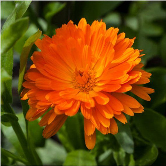 Heirloom Calendula P*T Marigold Seeds Flower Garden 400 x 300