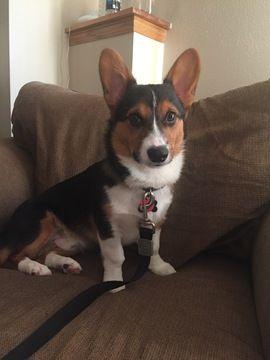 Pembroke Welsh Corgi puppy for sale in LOVES PARK, IL  ADN