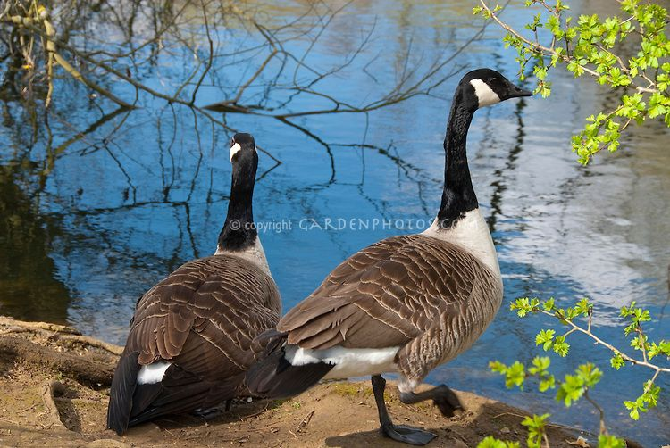 goose swimming in water Canada Geese next to water lake