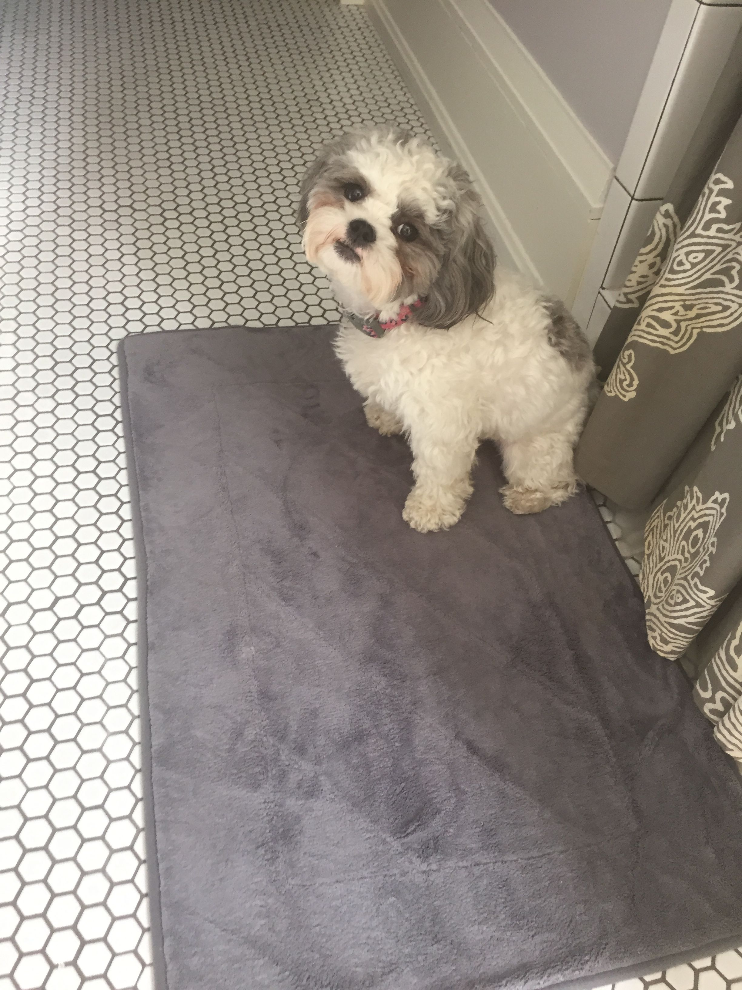 Pin By Cj M On Shichon Animals Dogs Bathroom Scale