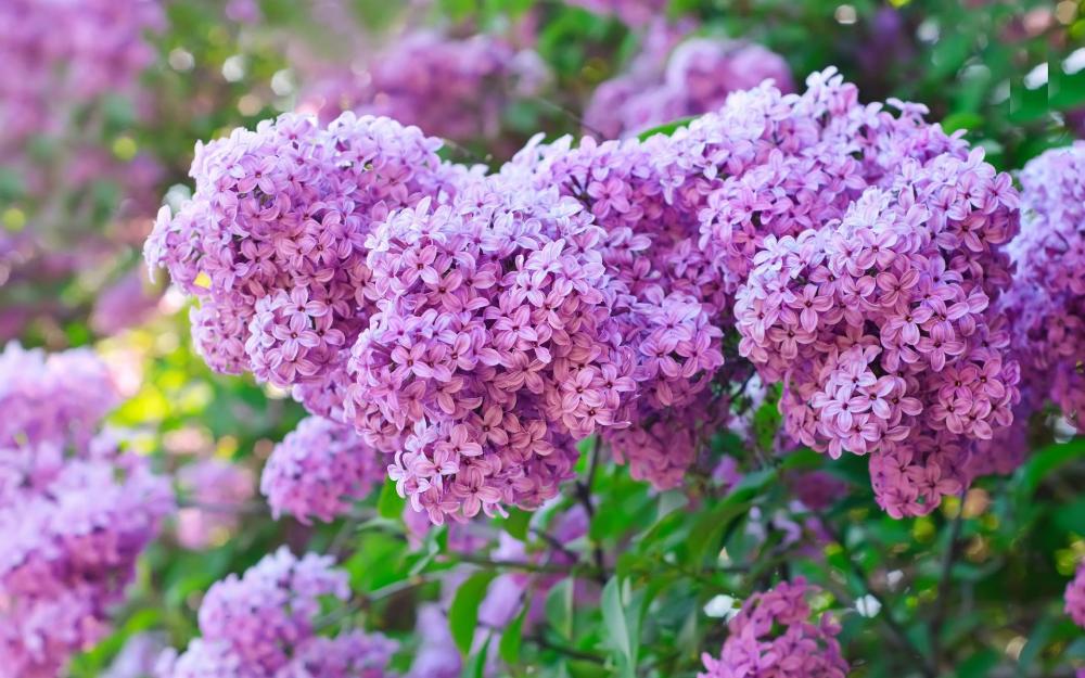 Earth Lilac Flowers Purple Flower Flower Wallpaper In 2020 Edible Flower Garden Edible Flowers Lilac Plant