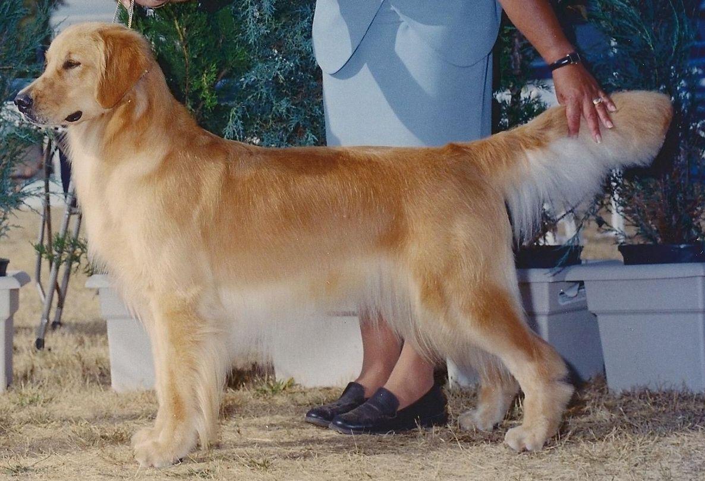 Golden Retriever Golden Retrievers Lincoln S Mom Was A Show Dog