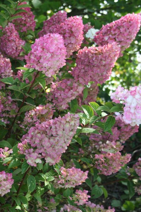How To Get More Hydrangea Flowers Strawberry Hydrangea Hydrangea Shrub Hardy Hydrangea