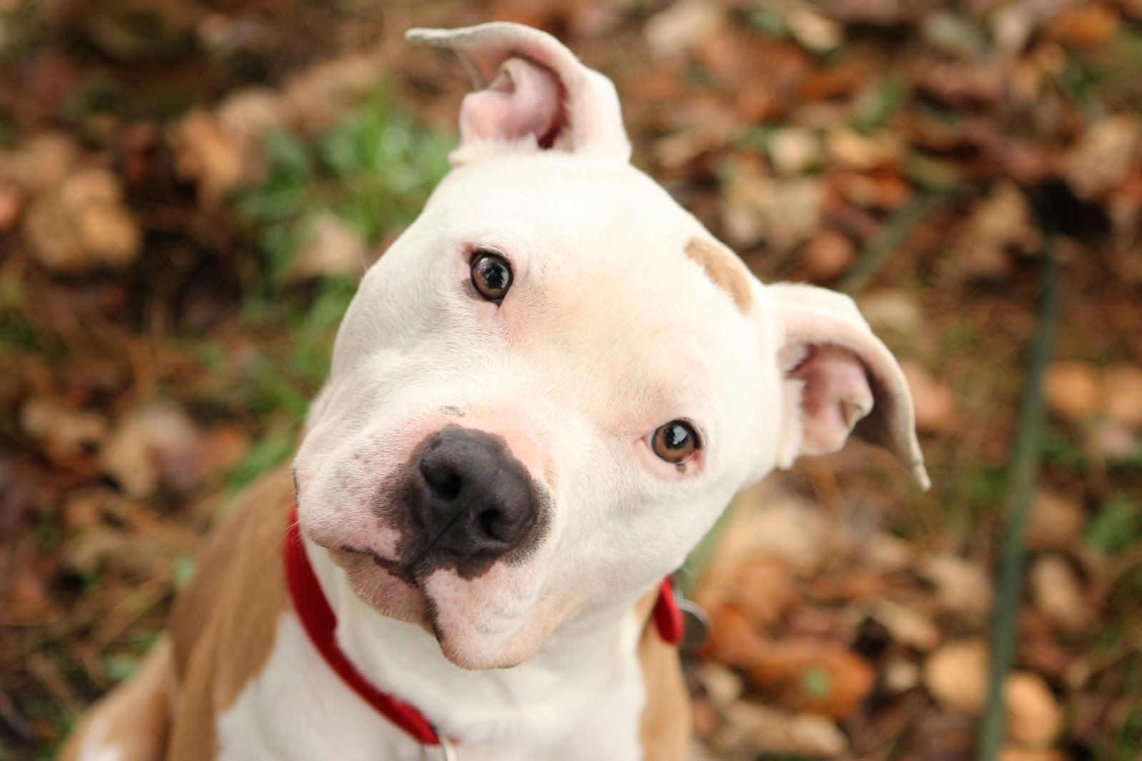 What Kind Of Dog Are You Really Pitbulls Pitbull Dog Images