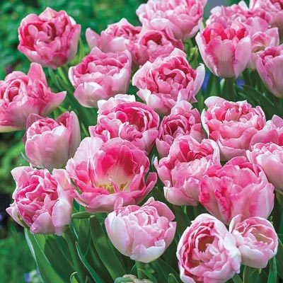 Angelique Tulip Spring Hill Nurseries In 2020 Garden Flower Beds Peonies Garden Angelique Tulip