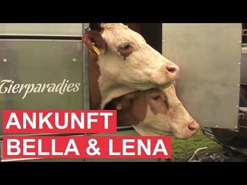 Gut Aiderbichl Moosfeldhof Kuhe Bella Und Lena Youtube Amor