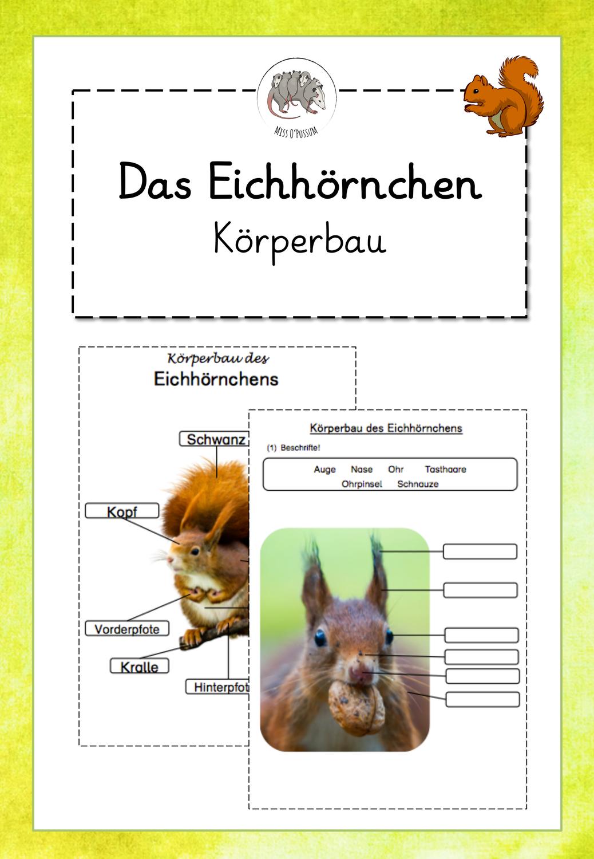 Das Eichhörnchen Körperbau differenzierte ABBs und Übersicht ...