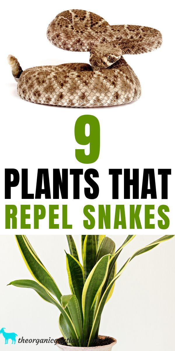 9 Plants That Repel Snakes - The Organic Goat Lady