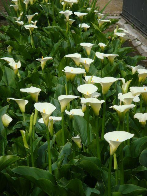 Calas plantas cuidados buscar con google jardines bonitos flowers amazing flowers y - Cuidado de jardines ...
