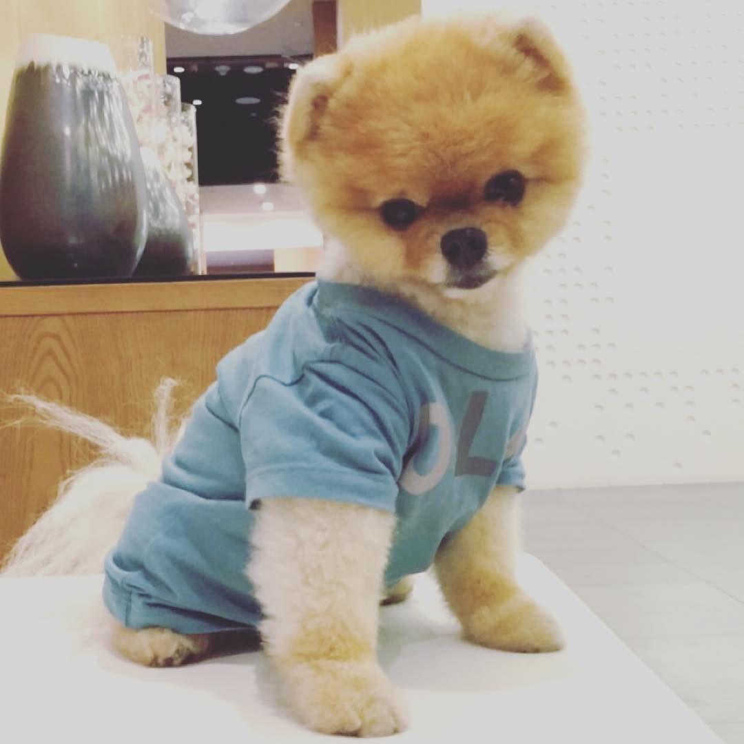 Jiff By Jiffpom My Instagram Favorites Pinterest Dog - Jiff the pomeranian is easily the best dressed model on instagram