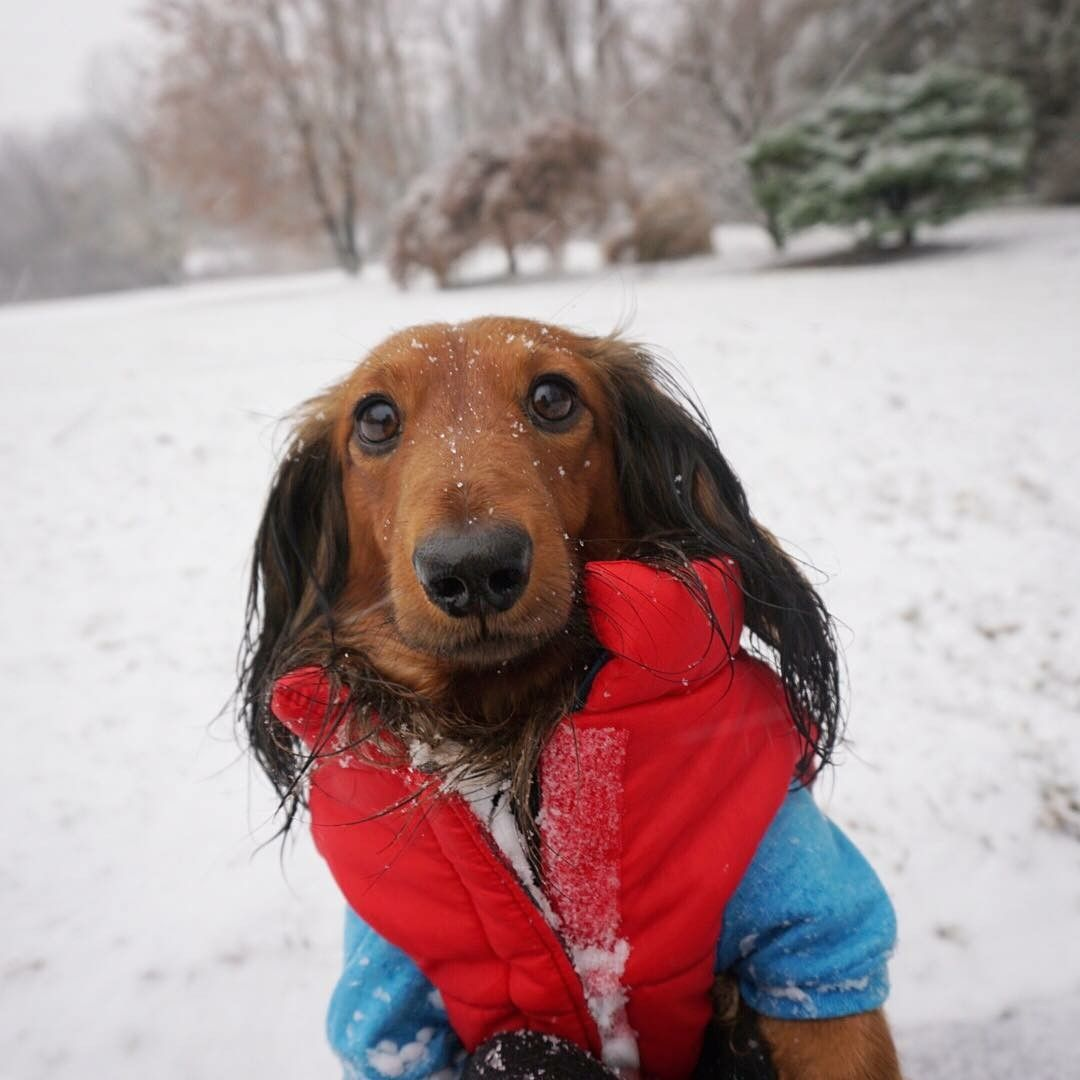 Pin by sherry mayer on doxies in loving memory of my oscar who