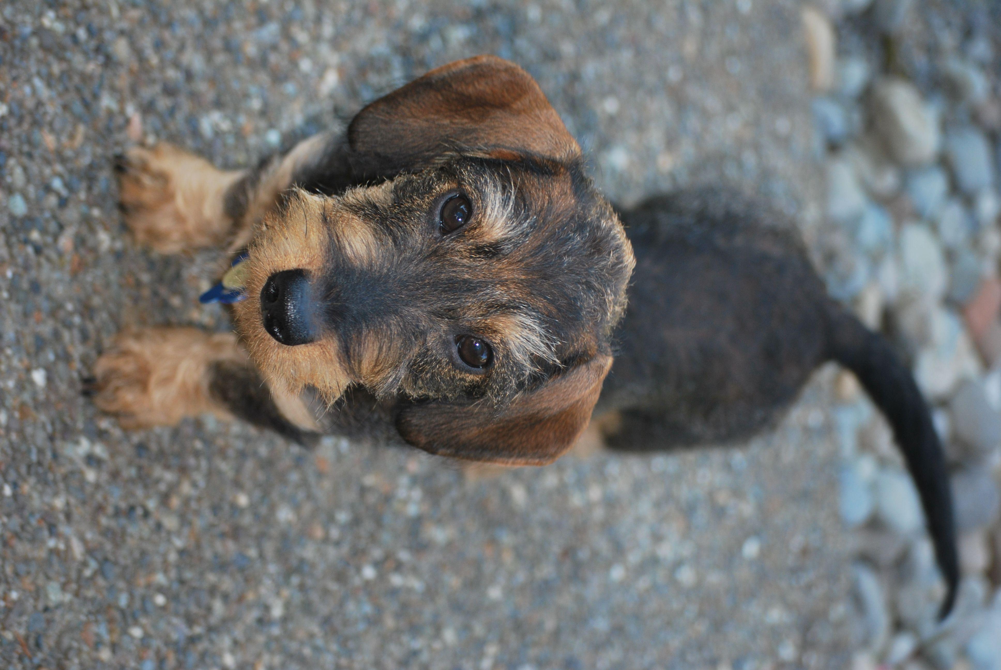 The National Miniature Dashshund Club Wire Haired Dachshund Dachshund Love Beautiful Dogs