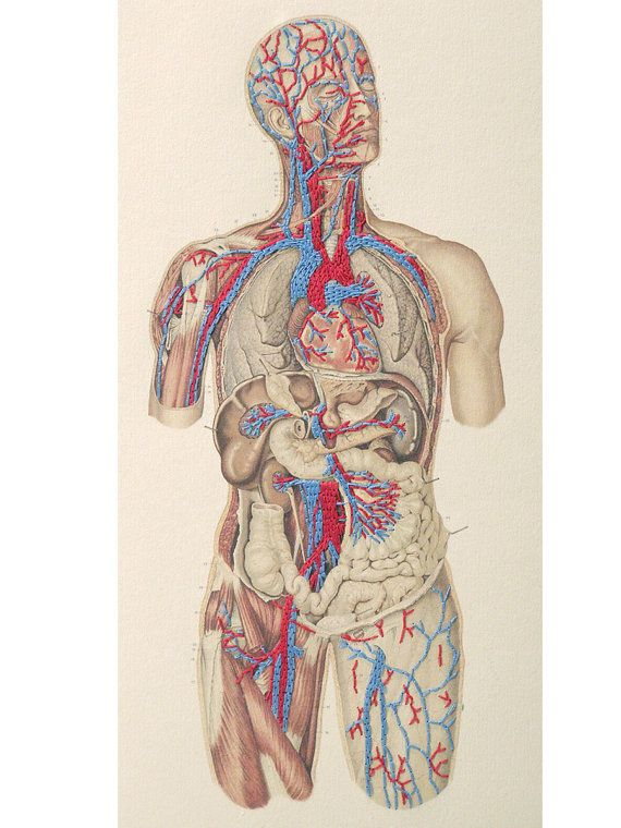 Anatomy Journal Circulatory System Of The By Fabulouscatpapers