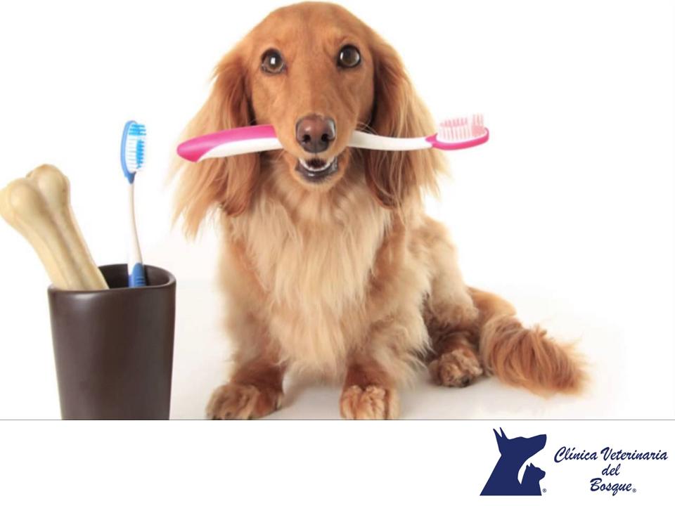 CLÍNICA VETERINARIA DEL BOSQUE. La falta de limpieza dental puede provocar problemas en tu perro como caries, sarro e infecciones. Por eso es necesario realizar esta tarea asiduamente. Se recomienda educar a tu mascota en el cepillado desde que es cachorro, empezando por una revisión de los dientes con los dedos, para que se acostumbre al contacto. Poco a poco tu mascota aceptará la manipulación y podrás usar cepillo de dientes y pasta dental. www.veterinariadelbosque.com
