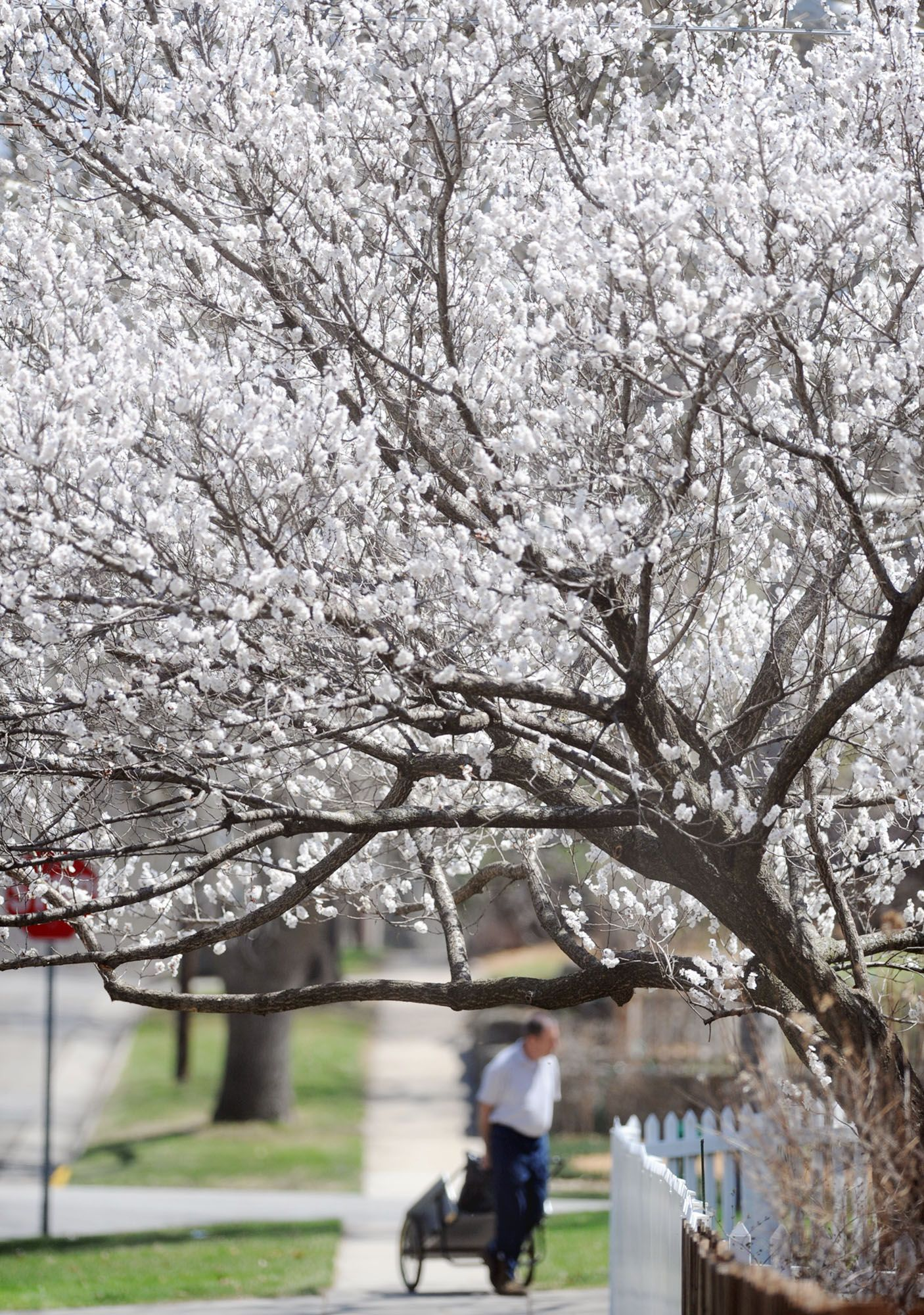 A White Flowering Crabapple Blooms On 15th Street On Tuesday In Ames