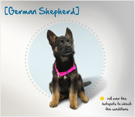 Did You Know That German Shepherds Are Consistently Ranked As One