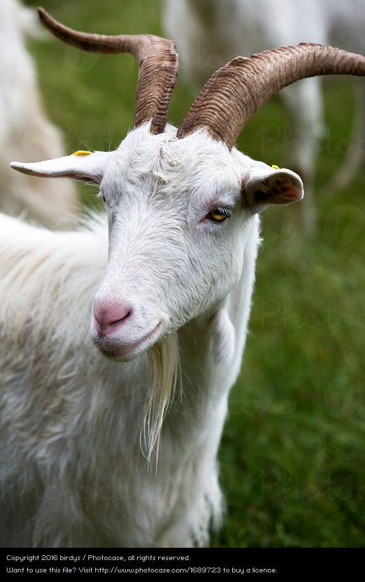 Foto \'glückliche Ziege\' von \'birdys\' | Goats | Pinterest | Cabras ...