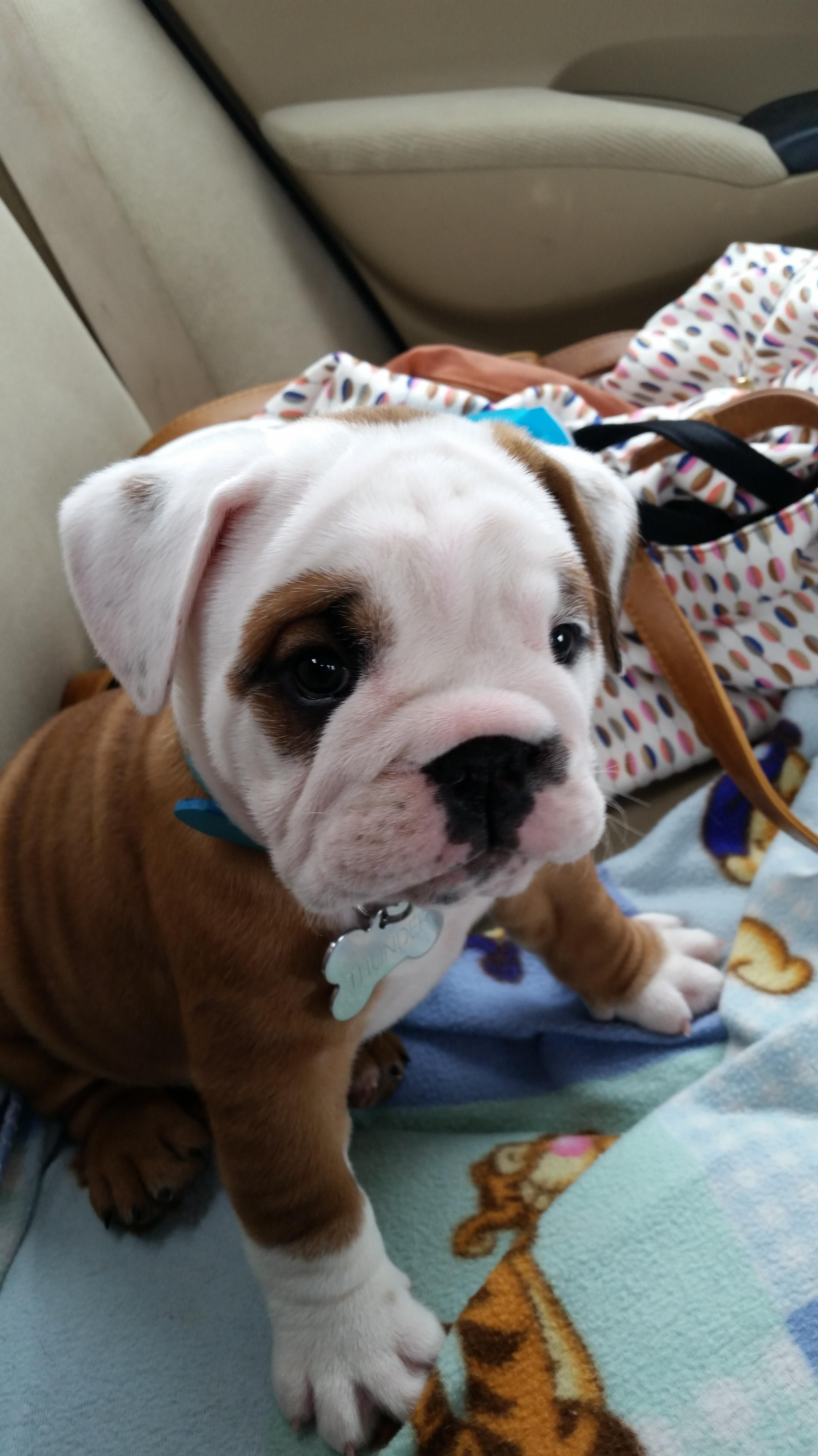 Say Hello To My Bully Thunder Puppies Dogs Cute Dogs