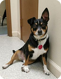 Terrier Unknown Type Small Chihuahua Mix Dog For Adoption In