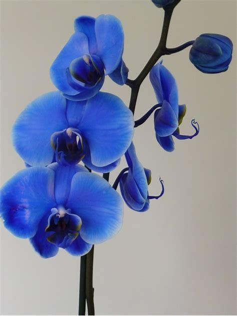 Blue Orchid Tattoo Blue Orchids Orchid Meaning Orchids