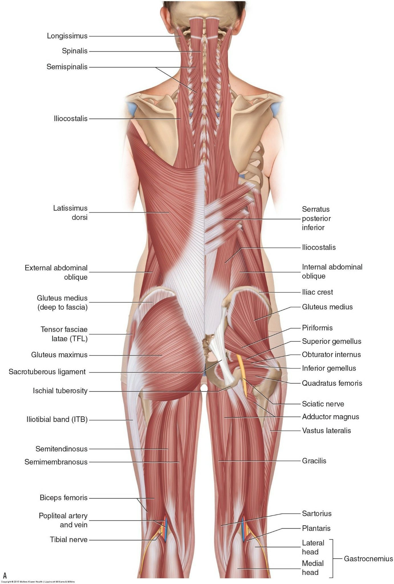 Pin by Kt Kröning on Anatomy | Pinterest | Anatomy