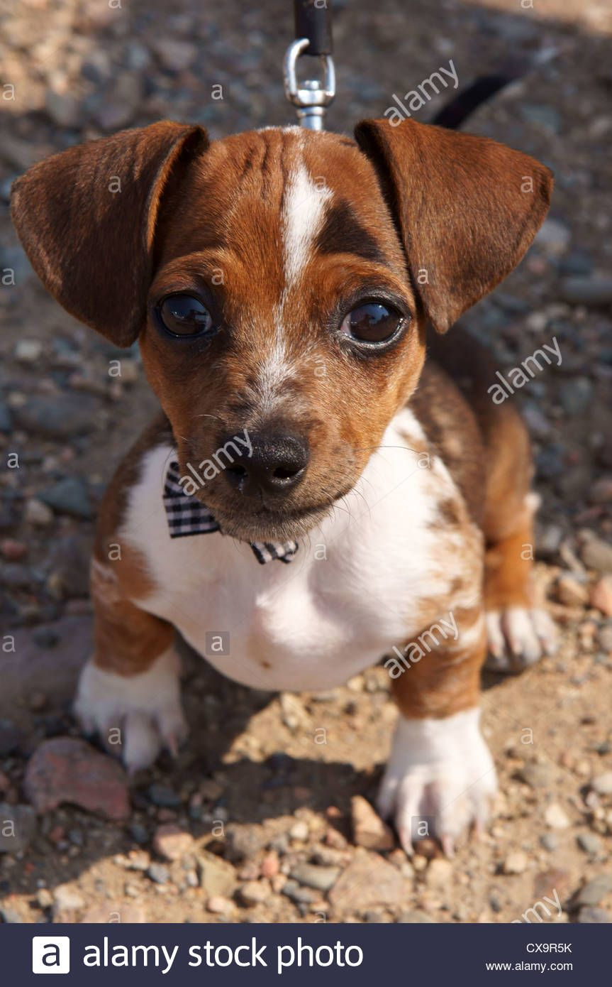 Stock Photo Chihuahua Dachshund Cross Breed Dog Puppy Wearing