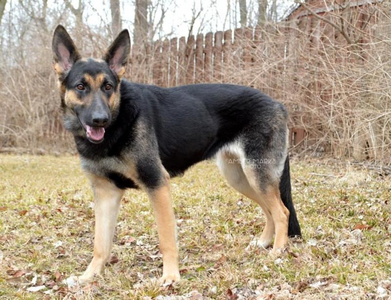Meet Lizette, a Petfinder adoptable German Shepherd Dog