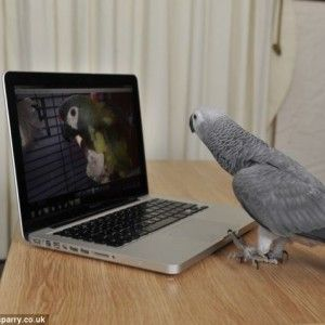 African Grey Parrot looking at a parrot on screen