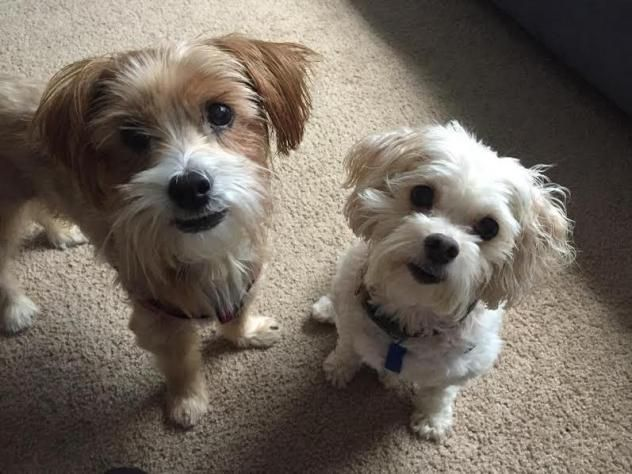 Adopt Willie And Whoopie On Terrier Dogs Yorkie Poodle Terrier